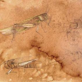 Study of grasshopper.